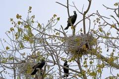 Бакланы вокруг гнезда - Phalacrocoracidae Стоковая Фотография