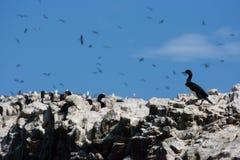 Бакланы в Islas Ballestas, Перу стоковое изображение
