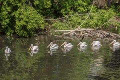 Бакланы и пеликаны в одичалом стоковые изображения rf