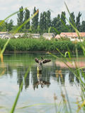 Баклан засыхания крыла Стоковое Изображение