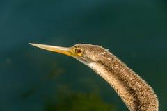Баклан суша его крыла на озере Eola, Орландо, Флорида, стоковые фото