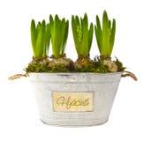 бак гиацинта цветка шариков растущий стоковое изображение rf