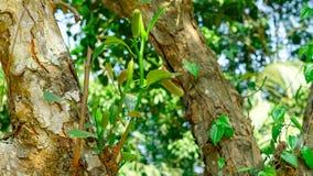 Бак джекфрута на дереве джекфрута Стоковое Фото