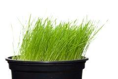 бак завода зеленого цвета травы длинний Стоковая Фотография