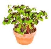 бак завода листьев клевера 4 Стоковое Фото
