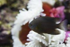 бак морского пехотинца рыб аквариума Стоковые Фото