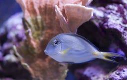 бак морского пехотинца рыб аквариума Стоковые Фотографии RF