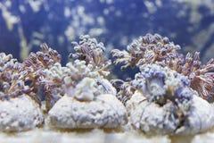 бак морского пехотинца рыб аквариума Стоковые Изображения
