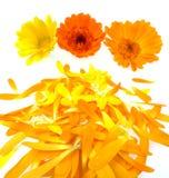 бак ноготк листьев цветков Стоковая Фотография RF