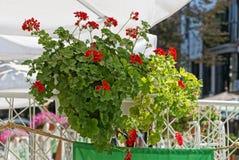 Бак с зеленым орнаментальным заводом с красными цветками на загородке стоковая фотография rf