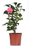 бак цветков цветка камелии Стоковые Фотографии RF