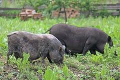 2 Бак-bellied растительноядного свиней пася в луге Стоковое Изображение RF