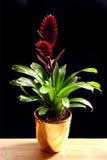 бак bromelia золотистый Стоковое Изображение