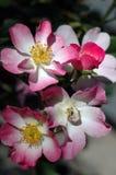 балерина rosa Стоковые Фото
