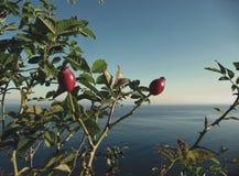 Балтийское море и плоды шиповника стоковые фотографии rf