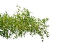 Бамбуковая ветвь дерева изолированная на белой предпосылке стоковое изображение rf