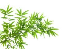 Бамбуковая ветвь на белой предпосылке стоковое фото rf