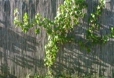 Бамбуковая загородка с виноградным вином Стоковые Фотографии RF
