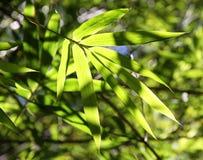 Бамбуковая зеленая ветвь. Стоковые Фото