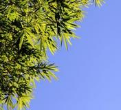 Бамбуковая зеленая листва на сини. Свободная предпосылка. Стоковые Изображения RF