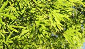 Бамбуковая зеленая молодая листва. Бамбуковая зеленая молодая листва. Стоковая Фотография RF