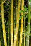 Бамбуковая природа леса Стоковая Фотография