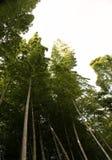 Бамбуковая роща, бамбуковый лес на Кобе, Японии Стоковые Фотографии RF