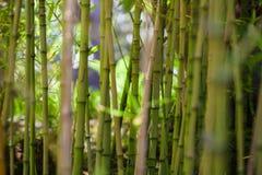 Бамбуковая роща леса на солнечный день стоковая фотография rf