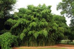 Бамбуковая роща Стоковые Фото