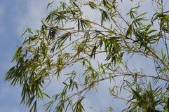 Бамбуковое дерево в заходе солнца Стоковое Изображение RF