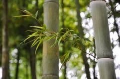 Бамбуковые ветви в солнечности Стоковые Фотографии RF