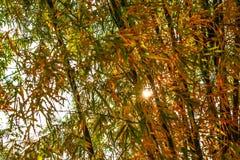 Бамбуковые всходы в лиственном сезоне с оранжевыми листьями и солнечным светом в утре стоковое изображение
