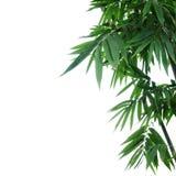 Бамбуковые листья зеленого цвета завода на белой предпосылке Стоковые Фото