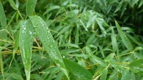 Бамбуковые листья Стоковые Фотографии RF