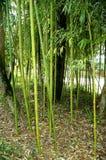 Бамбуковые тростники стоковые фотографии rf