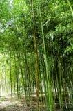 Бамбуковые тростники стоковая фотография rf