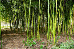 Бамбуковые тростники стоковые изображения