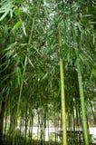Бамбуковые тростники стоковое изображение rf