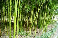 Бамбуковые тростники стоковые фото