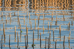 Бамбуковые хоботы поддержаны для растущих ростков мангровы отборно Стоковая Фотография