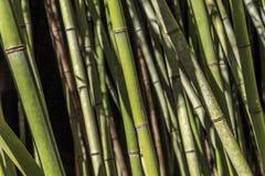 Бамбуковый, вечнозеленое постоянное стоковые фото