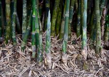 Бамбуковый всход Стоковое Изображение