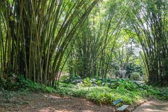 Бамбуковый лес - ботанический сад Рио-де-Жанейро, Бразилия Стоковые Изображения