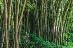 Бамбуковый лес - ботанический сад Рио-де-Жанейро, Бразилия Стоковые Изображения RF