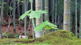 Бамбуковый лес в Arashiyama, Киото Стоковое Фото