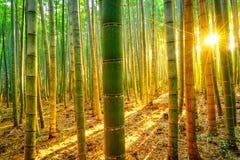 Бамбуковый лес с солнечным в утре Стоковые Фото