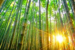 Бамбуковый лес с солнечным в утре Стоковые Фотографии RF