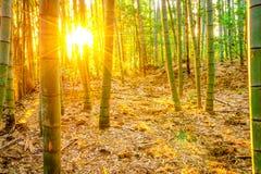Бамбуковый лес с солнечным в утре Стоковые Изображения RF