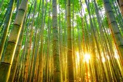 Бамбуковый лес с солнечным в утре Стоковое Изображение
