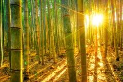 Бамбуковый лес с солнечным в утре Стоковая Фотография